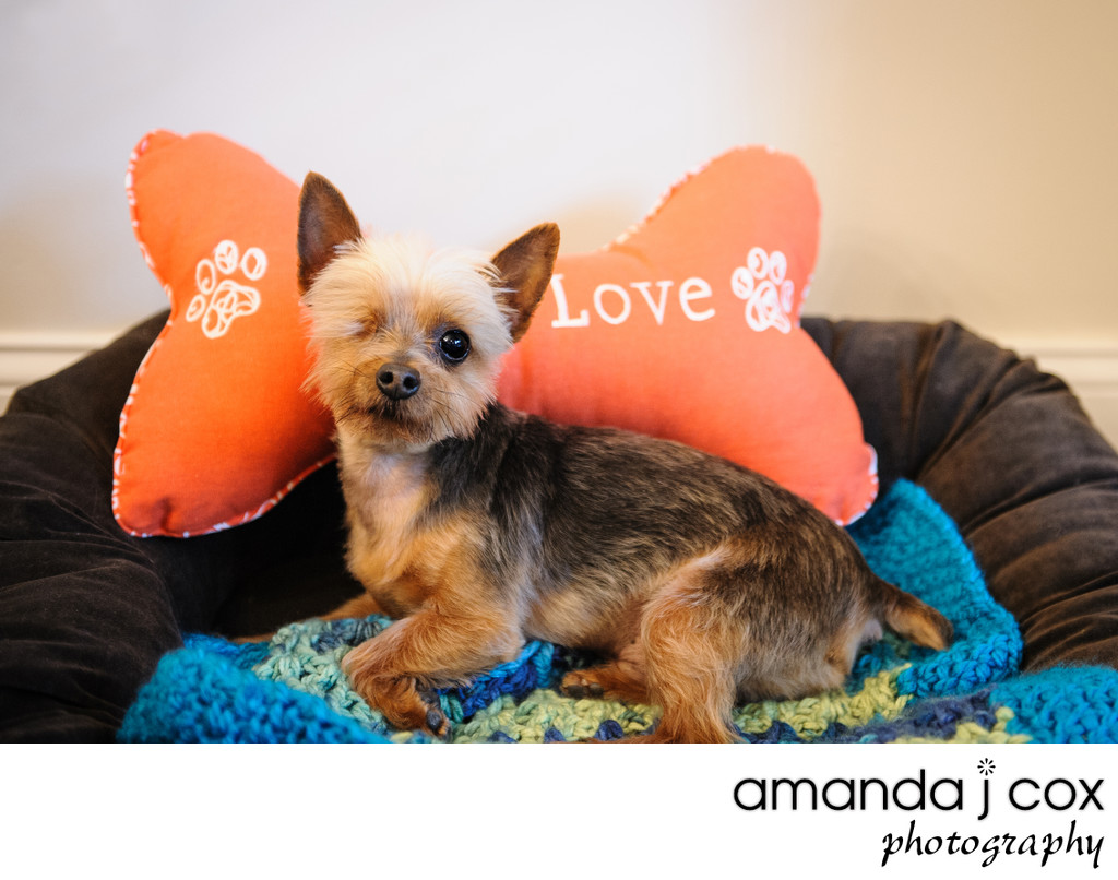Main Line Pet Photography Teacup Yorkie Rescue Dog