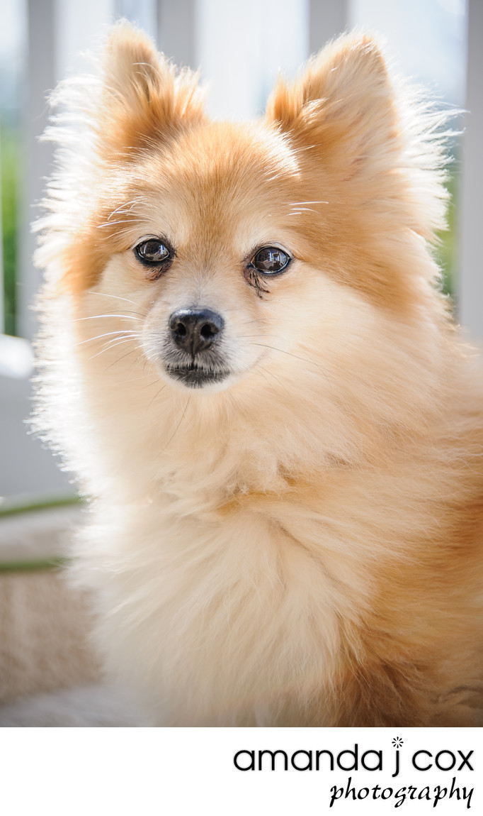 Avalon Pet Photographer Pomeranian Pictures