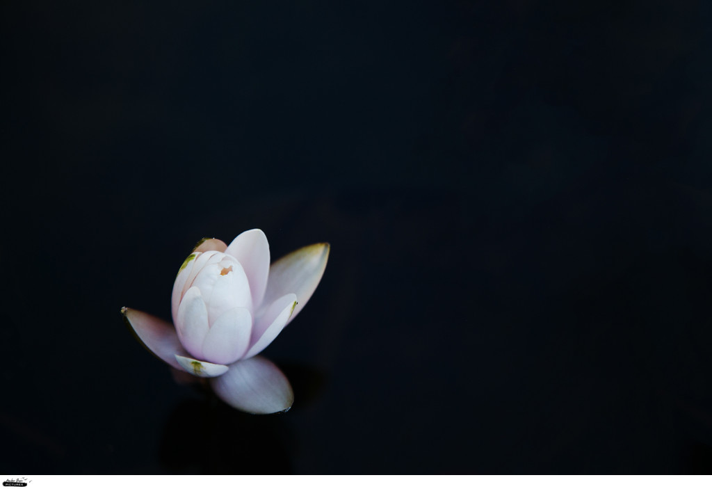 water lily in the dark water