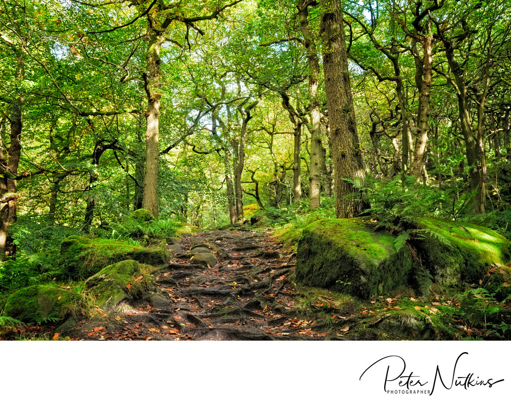 Forest Pathway Leading Through Roots of Padley Gorge