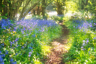 Bluebell Pathway Through The Forest
