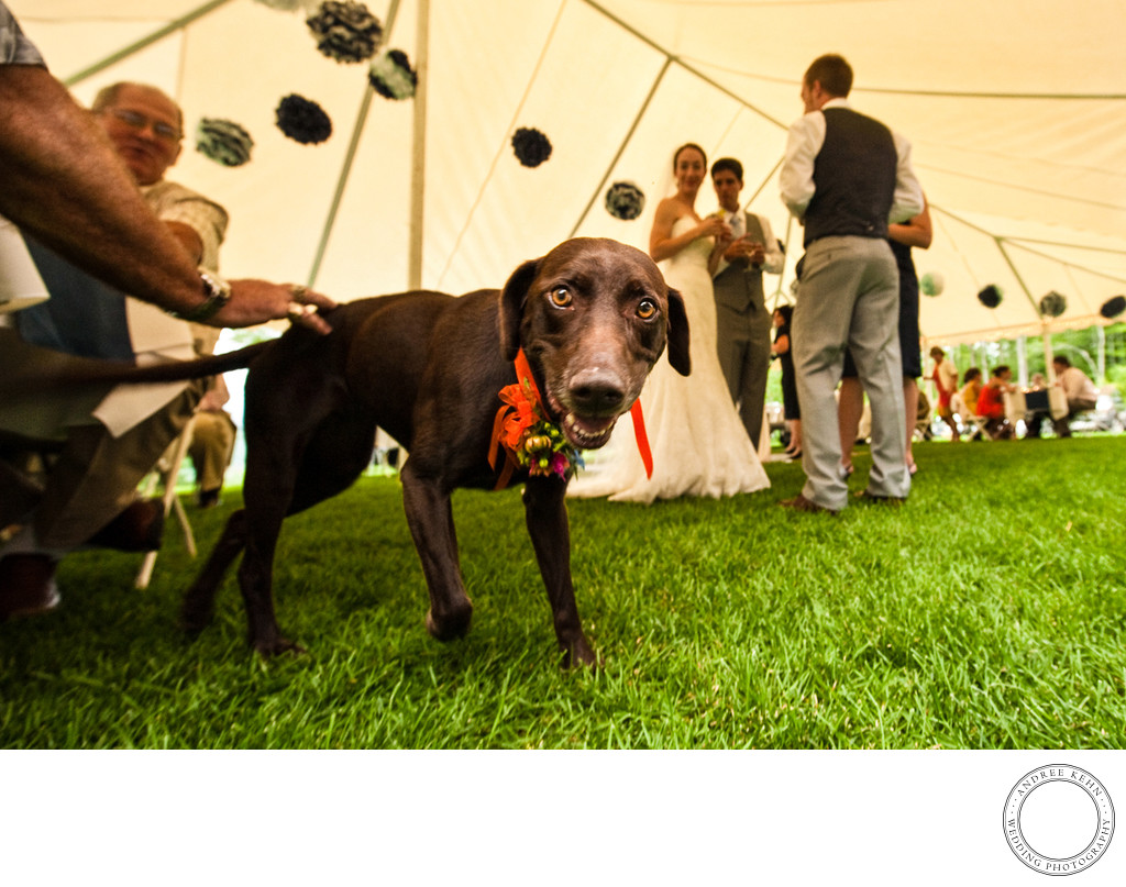 dogs at outdoor tented backyard weddings in Maine