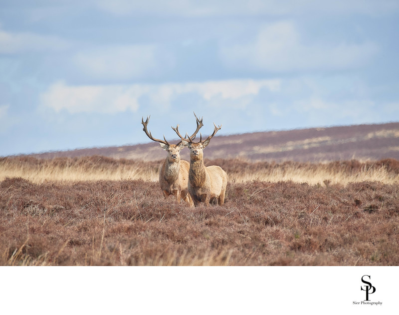 Red Deer Stags on Big Moor in Derbyshire