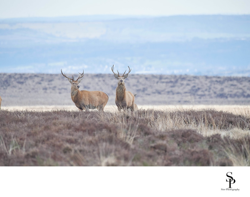 Two Red Deer Stags on Big Moor Derbyshire