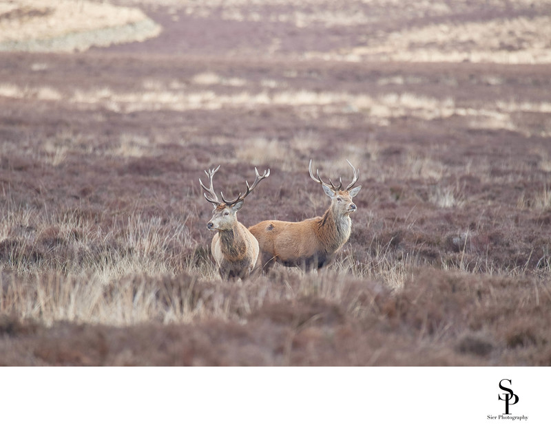 A Pair of Stags on Big Moor in Derbyshire