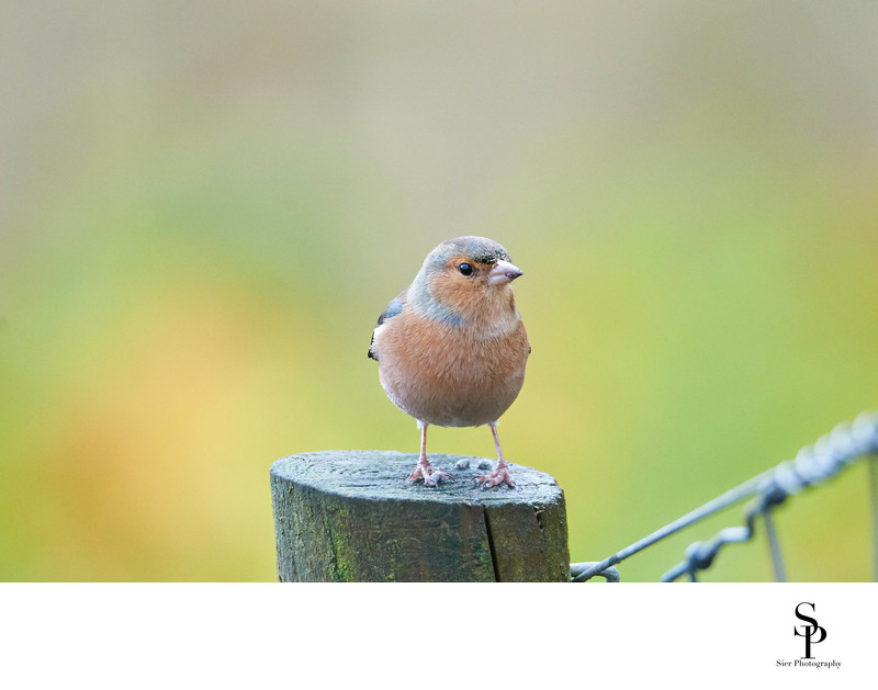 Chaffinch on a fence post in Dumfries and Galloway