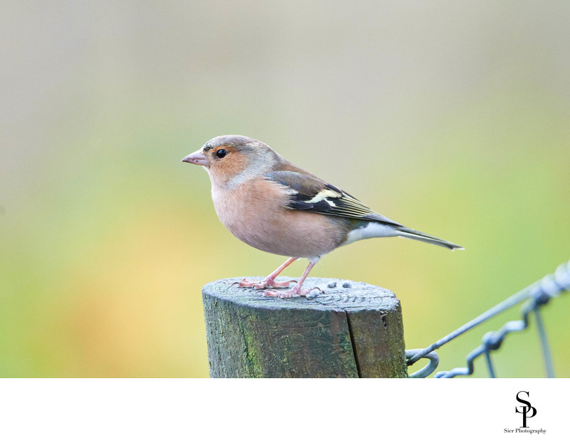 Chaffinch on Fence Post