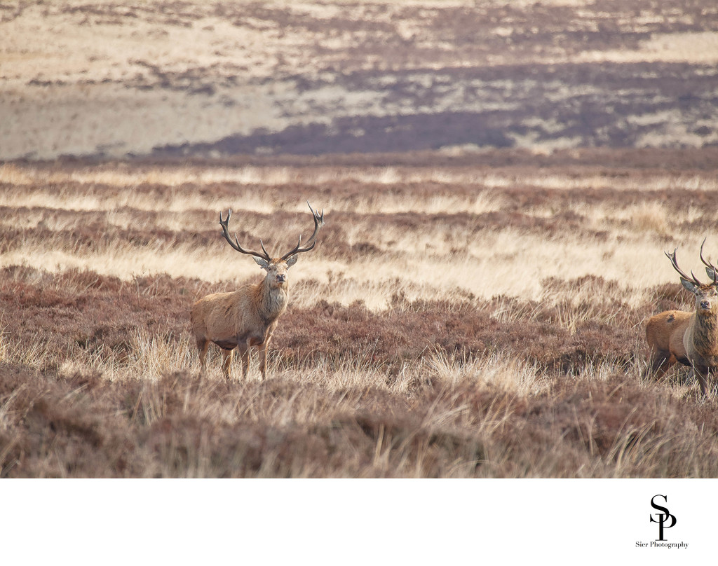 Stunning Antlers on Red Deer Stag Big Moor Derbyshire