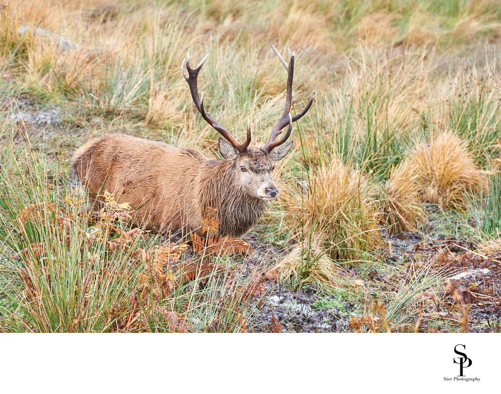 Stag at the red deer range in Dumfries & Galloway