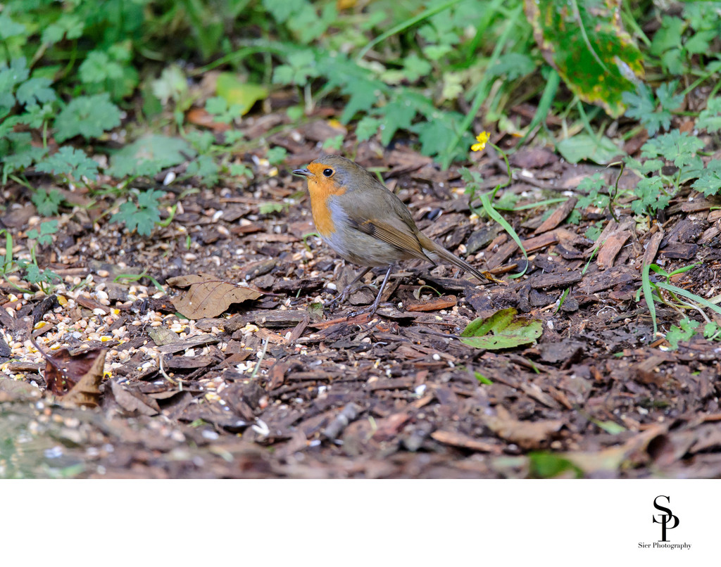 Robin in Dumfries and Galloway