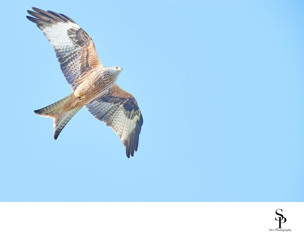 Red Kite at Bellymack Farm Laurieston