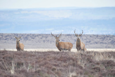 Trio of Red Deer Stags on Big Moor Derbyshire