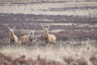 Three Stags on Big Moor Derbyshire
