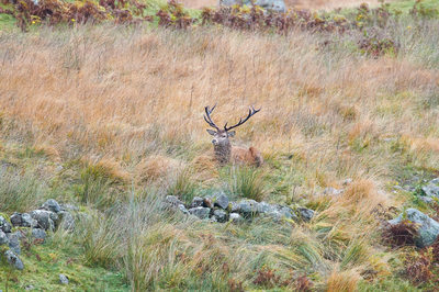 Red Deer in Hiding in the Galloway Forest Park