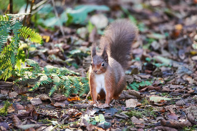 Red Squirrel in Ferns