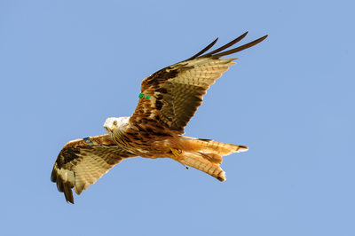 Red Kite at Bellymack Farm
