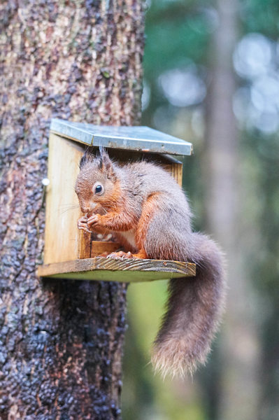 Red Squirrel at the Kirroughtree Forest Visitors Centre