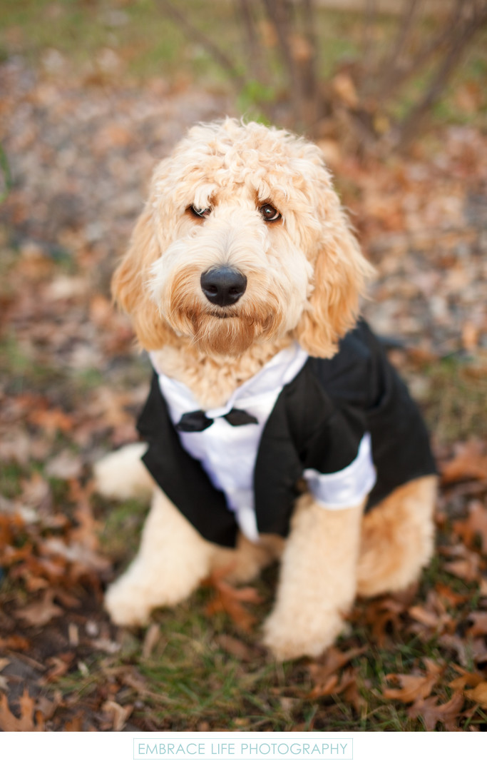 Dog Wedding Tuxedo - Minneapolis, Minnesota
