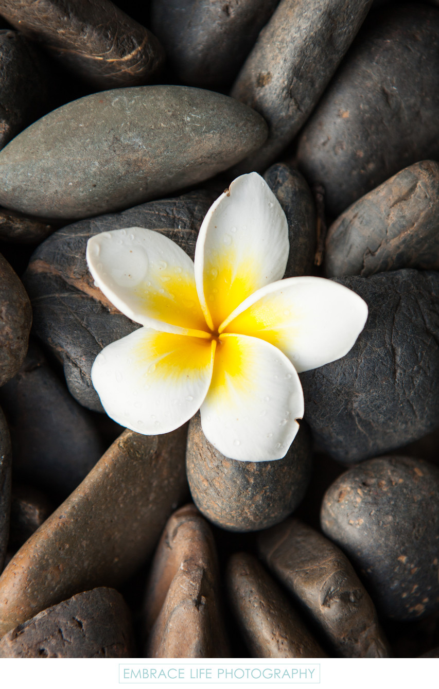 Plumeria Blossom on River Rocks in Chiang Mai, Thailand