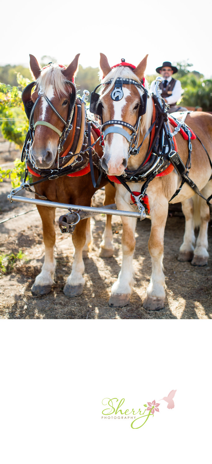 Draft Horse Carriage