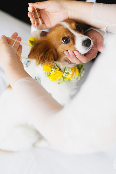 papillon dog wedding photography