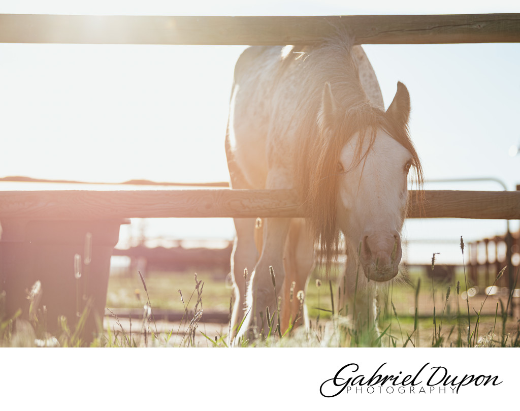 Gypsy Horse in the Morning