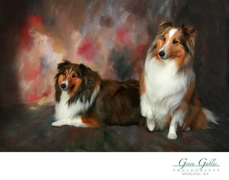 Two Collies, beautiful dogs