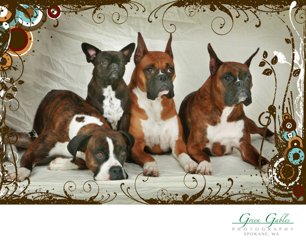 in studio pet photography, four dogs
