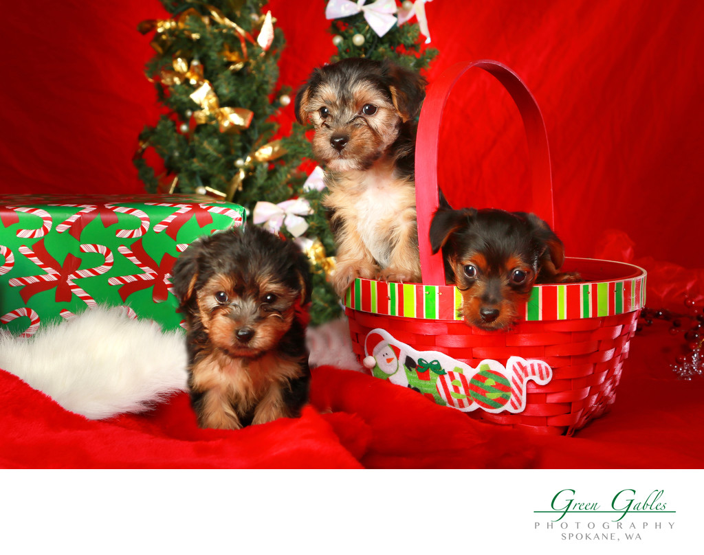 three puppies ready for Christmas
