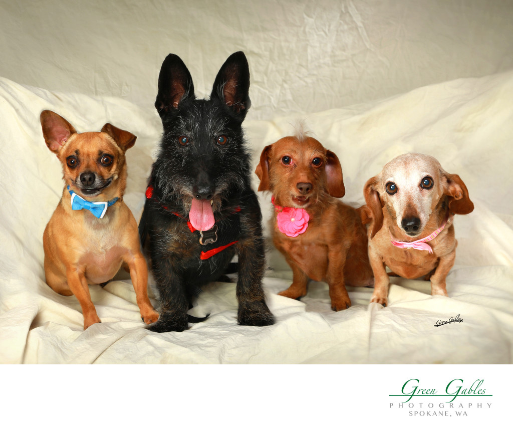 pets-dogs-group-fun-studio-spokane pets