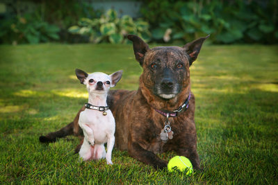 two dogs, let's play ball at their home