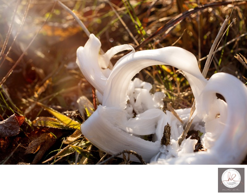 Sunny Frost Flower Athens GA