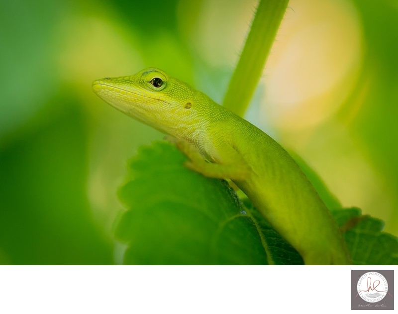 Green Anole Athens GA