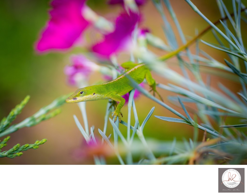 Anole in flowers Athens GA