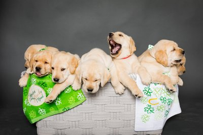 Labrador Puppies Photo Session Las Vegas