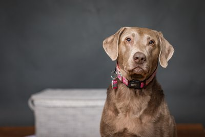 Las Vegas Pet Photography with Gru a silver Labrador