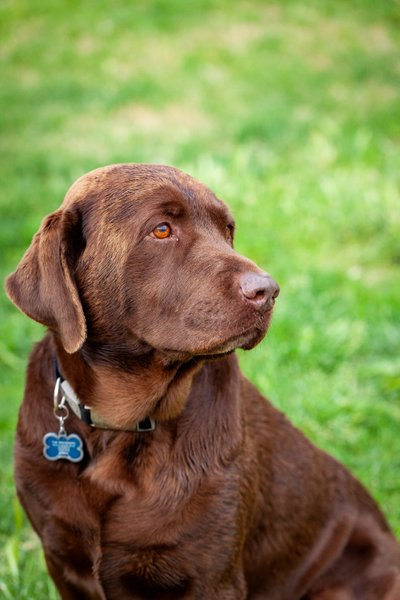 Las Vegas Pet Photographer Chocolate Lab