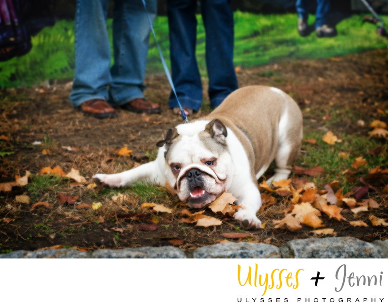 Bulldog Pet Photography NY