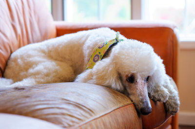 Poodle Photographer Best Hudson Valley