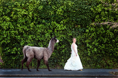 Seattle Best Wedding Photographer Bride With Llama