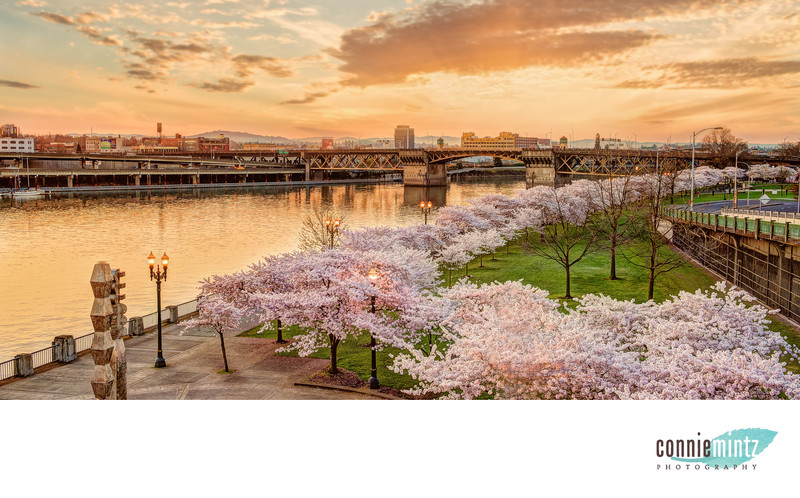 Cherry Blossoms in Portland Oregon