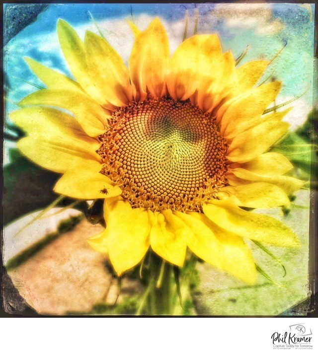 Polaroidvangogh Photography of Sunflower by Matthew Loeber