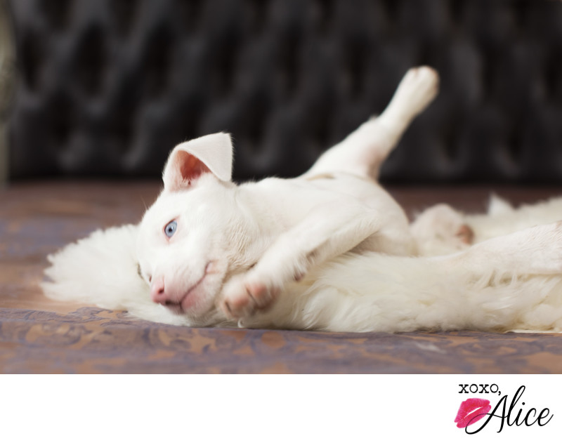 adorable deaf puppy with blue eyes and pink nose STL