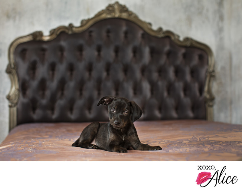 Cute black puppy with fancy backdrop in a photo studio