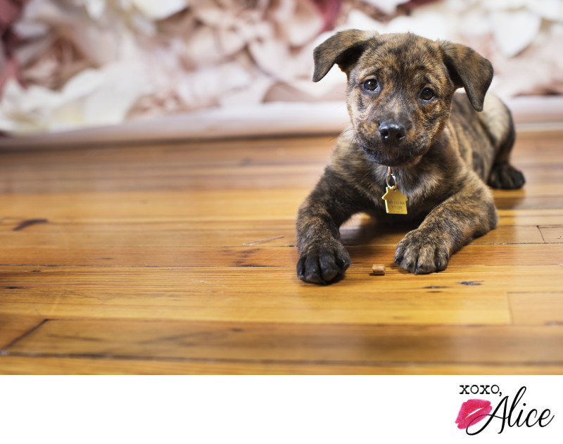 Brindle puppy photography pet portraits