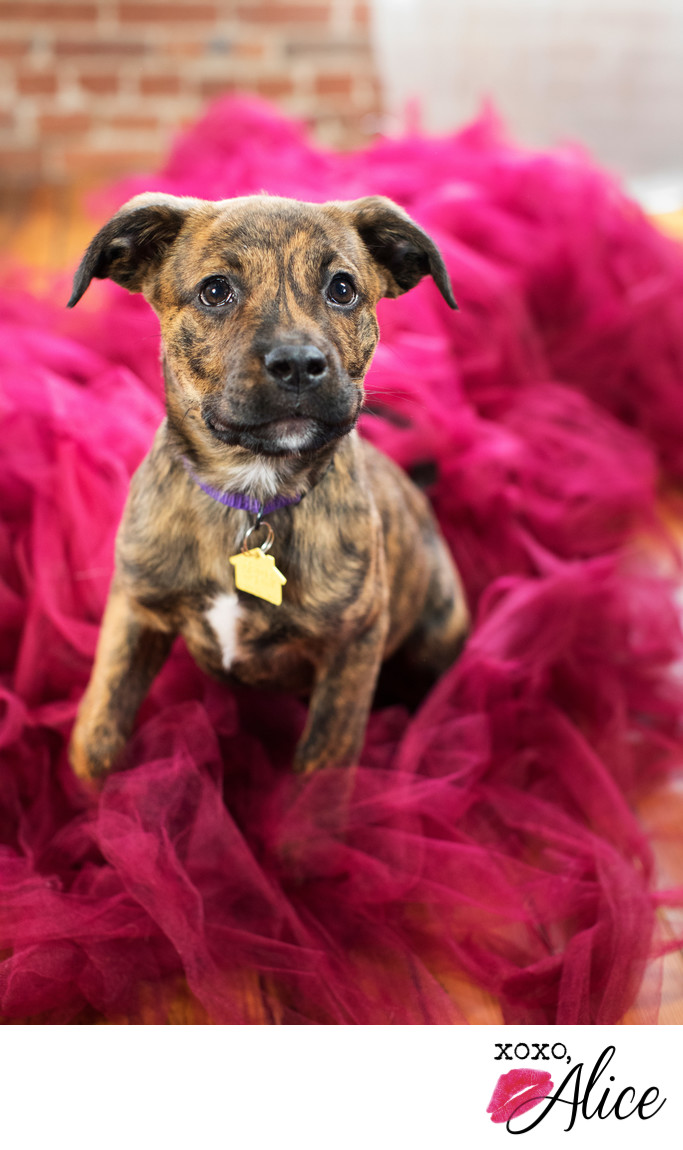 puppy photoy brindle puppy in tulle xoxo alice