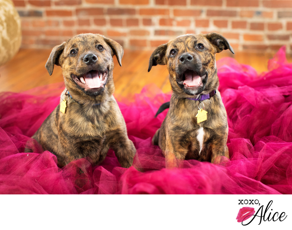 puppy photography brindle puppies in tulle xoxo alice