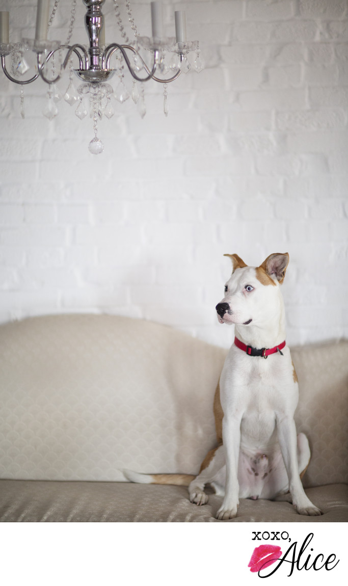 pro dog portraits for your pet photo studio