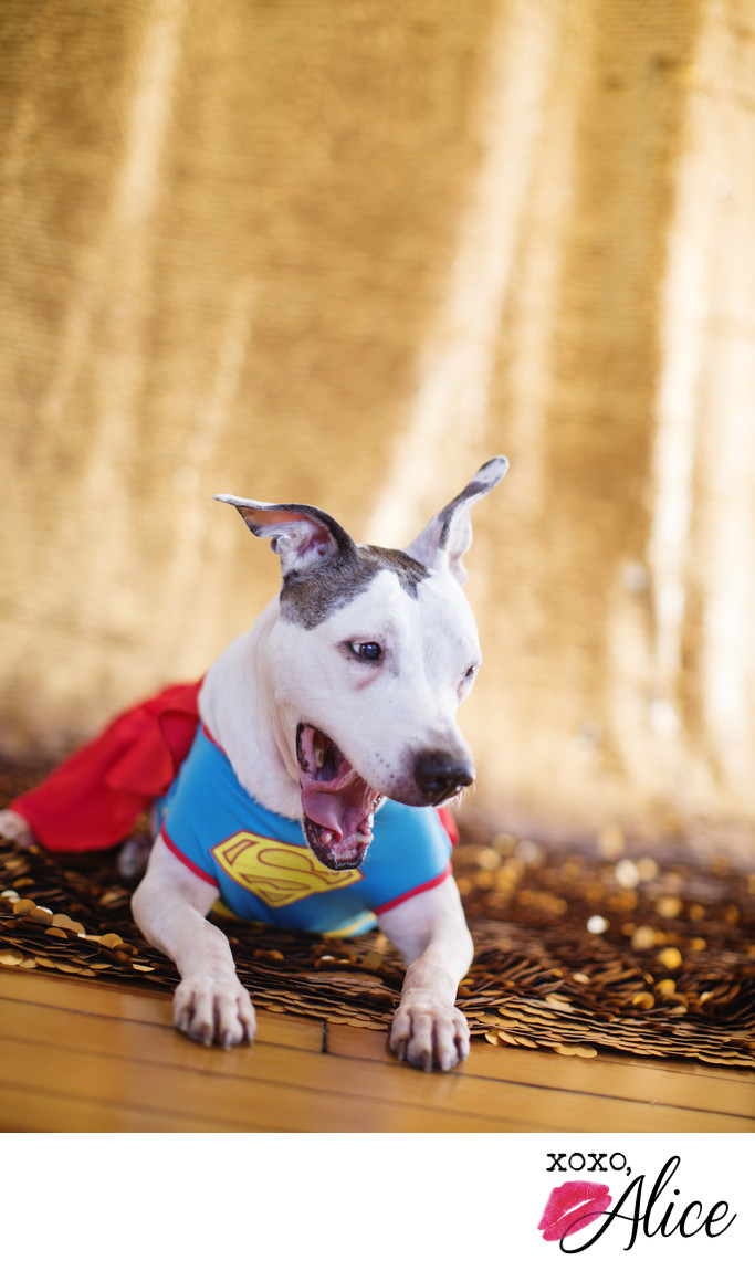 professional dog portraits dogs in costume super dog