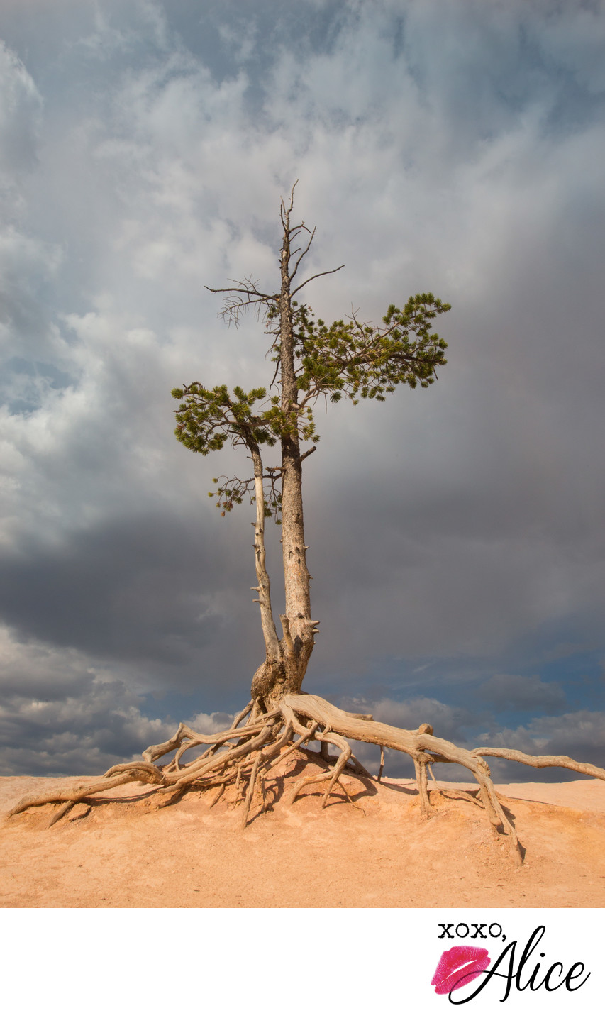 solitary tree and roots in the desert against dark sky